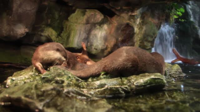 asian small clawed otter - カワウソ点の映像素材/bロール