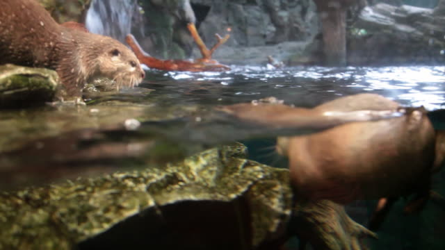 asian small clawed otter - otter stock-videos und b-roll-filmmaterial