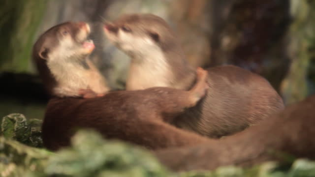 asian small clawed otter - otter stock videos & royalty-free footage