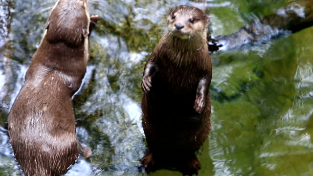 asian small-clawed otter (aonyx cinerea) - otter stock videos and b-roll footage