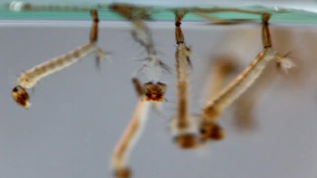 asian tiger mosquito larvae - virus zika video stock e b–roll