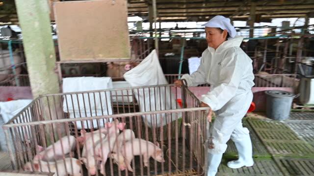 stockvideo's en b-roll-footage met aziatische dierenarts leest het verslag van de gezondheid van varkens in de fabriek-boerderij varken - alleen oudere vrouwen