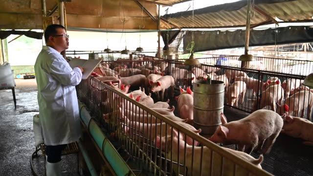vidéos et rushes de vétérinaire asiatiques lit le rapport sur la santé des porcs dans l'élevage industriel de porcs - petit groupe d'animaux