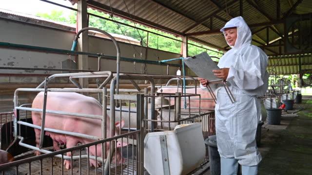 stockvideo's en b-roll-footage met aziatische dierenarts leest het verslag van de gezondheid van varkens in de fabriek-boerderij varken - varkensgriep