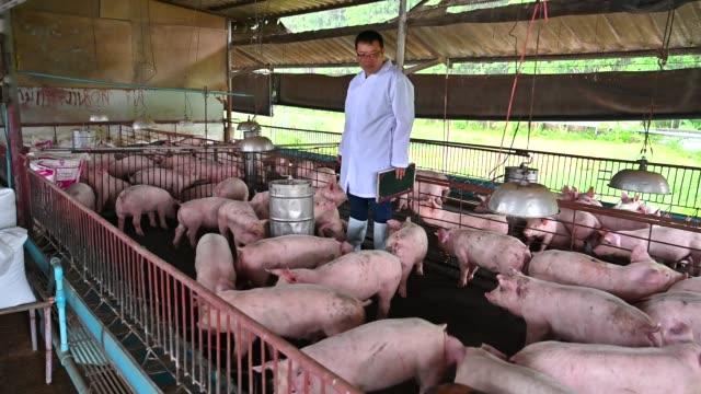 stockvideo's en b-roll-footage met aziatische dierenarts leest het verslag van de gezondheid van varkens in de fabriek-boerderij varken - kleine groep dieren