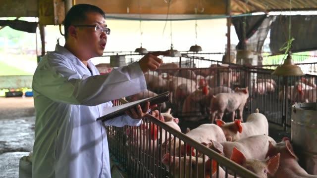 vídeos de stock, filmes e b-roll de veterinário asiáticos lê o relatório de integridade de porcos na fazenda fábrica de porco - gripe suína