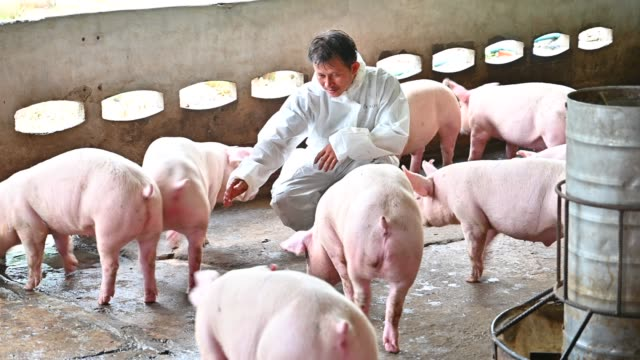asian veterinarian reads the health report of pigs in the pig factory farm - veterinarian stock videos & royalty-free footage