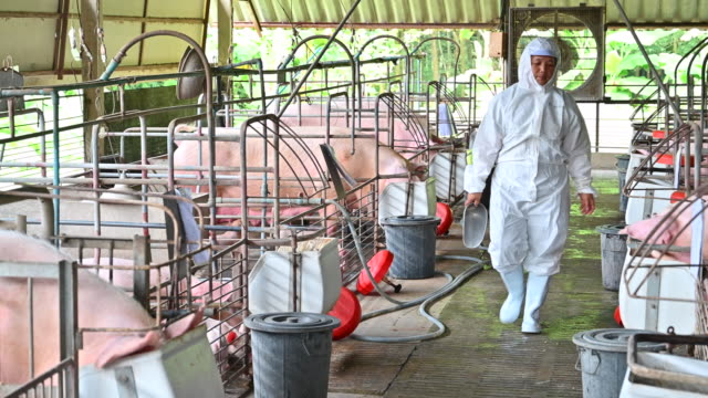 asian veterinary female feeding domestic pigs - rice cereal plant stock videos and b-roll footage