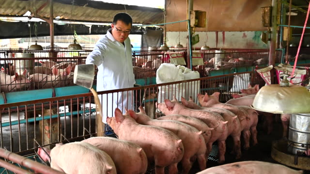 asian veterinary male feeding domestic pigs - pig stock videos & royalty-free footage
