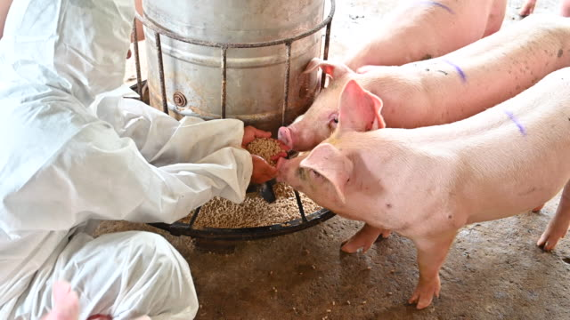 asian veterinary male feeding domestic pigs - stable stock videos & royalty-free footage