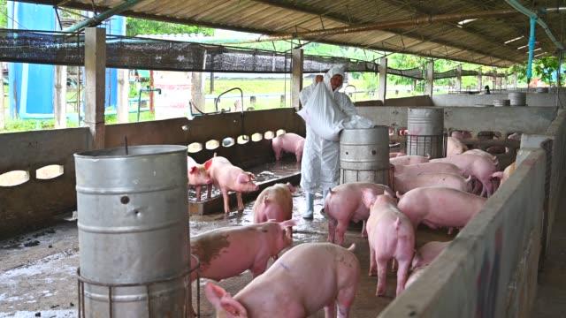 vídeos y material grabado en eventos de stock de varón asiático veterinaria alimentación cerdos domésticos - cereal plant