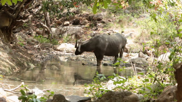 ms asian water buffalo drinking water / rinca island, indonesia - water buffalo stock videos & royalty-free footage