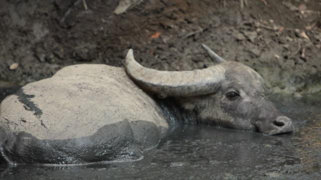 ms asian water buffalo in water / rinca island, indonesia - water buffalo stock videos & royalty-free footage