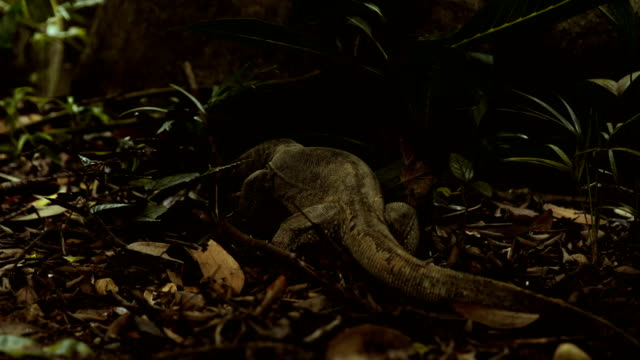 asian water monitor lizard looking for food - malaysia stock videos & royalty-free footage