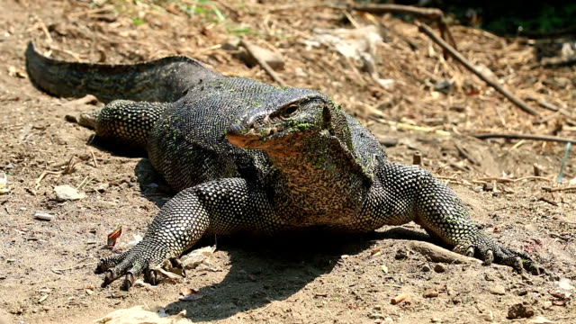 asian water monitor lizard (varanus salvator salvator) - water monitor stock videos and b-roll footage