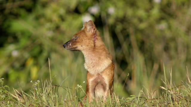 アジアの野生の犬カオ yai 国立公園 - ドール点の映像素材/bロール