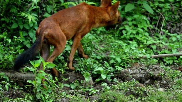 vidéos et rushes de chien sauvage d'asie dans la forêt, slow motion - nez d'animal