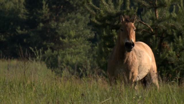 asian wild horse entering in screen - przewalski stock videos & royalty-free footage