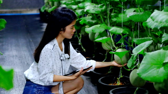 asian woman farmer with a digital tablet in the field, smart agriculture and technology concept - hydroponics stock videos & royalty-free footage