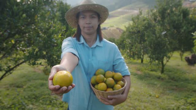 asian woman gardener showing and giving oranges in the basket in the oranges field garden in the morning time. - citrus fruit stock videos & royalty-free footage