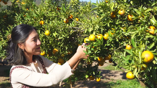 asian woman picking fresh oranges at orchard - orchard stock videos & royalty-free footage