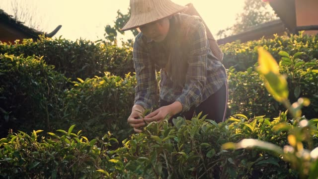 asian woman picking tea leaf in morning at mae hong son thailand - black tea stock videos & royalty-free footage