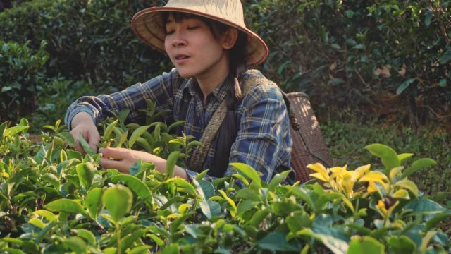 asian woman picking tea leaf in morning at mae hong son thailand - herb stock videos & royalty-free footage