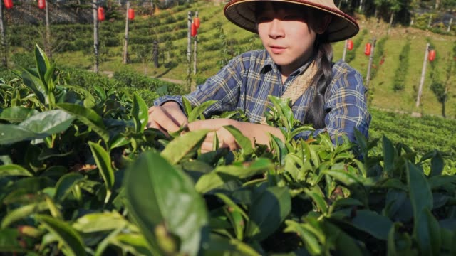 asian woman picking tea leaf in morning at mae hong son thailand - land stock videos & royalty-free footage