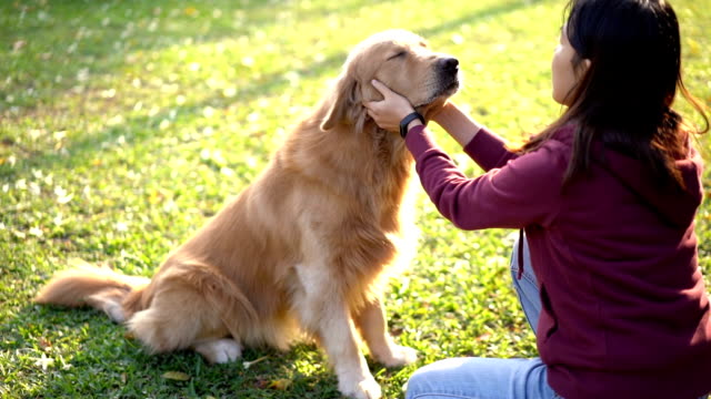slo mo asiatin spielt golden retriever wange - schwindelig stock-videos und b-roll-filmmaterial