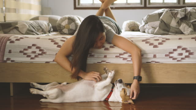vídeos de stock e filmes b-roll de asian woman scratching jack russell terrier's belly in bedroom - lamber