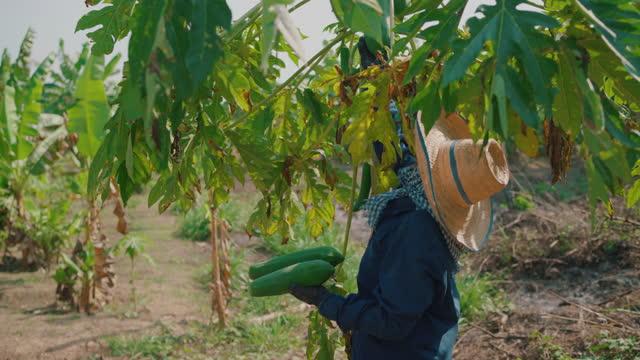 asian woman touching papaya fruit in the garden - thailand stock videos & royalty-free footage