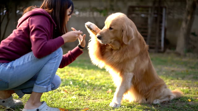 slomo ms asian woman try teach golden reteriver to high-five - retriever stock videos & royalty-free footage