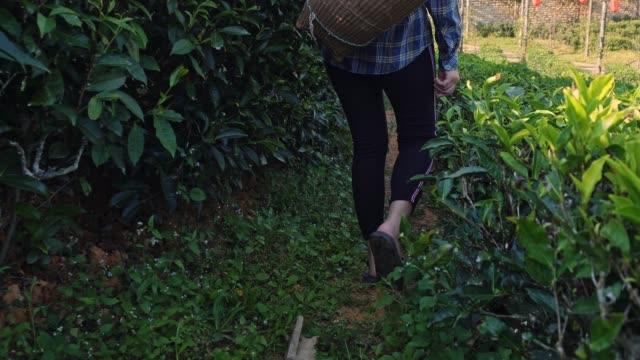 asian woman walk in tea plant , mae hong son thailand - herb stock videos & royalty-free footage