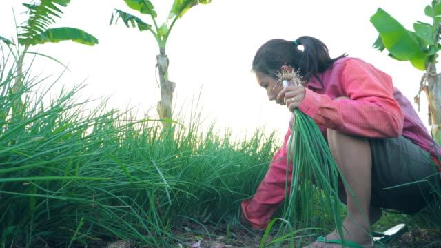 asian women working in vegetable garden - coriander stock videos & royalty-free footage