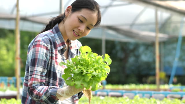 asian young female farmer harvesting agriculture in organic vegetable salad in greenhouse - organic stock videos & royalty-free footage