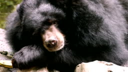 Asiatic Black Bear (Ursus thibetanus, Himalayan Black Bear)