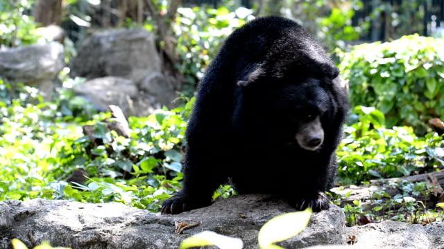 vidéos et rushes de ours noir asiatique - dancing bear