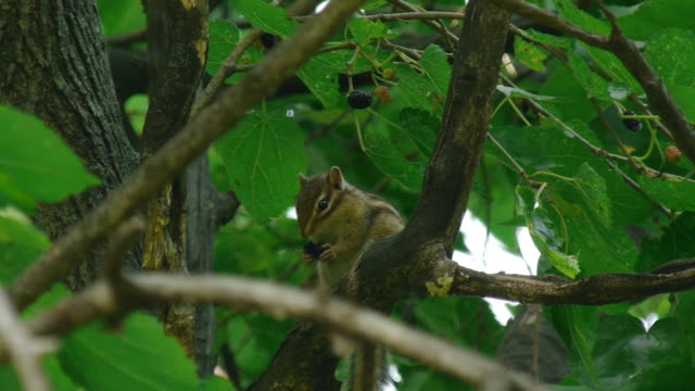 a asiatic chipmunk is eating mulberry on the branch - chipmunk stock videos & royalty-free footage