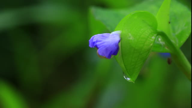 asiatic dayflower (commelina communis) blooming - dew stock videos & royalty-free footage