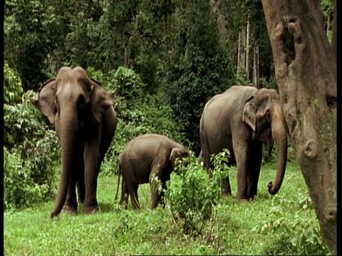 vídeos de stock e filmes b-roll de asiatic elephant, elephas maximus, 2 adult elephants and one calf elephant in a clearing amonst trees, western ghats, india - nariz de animal