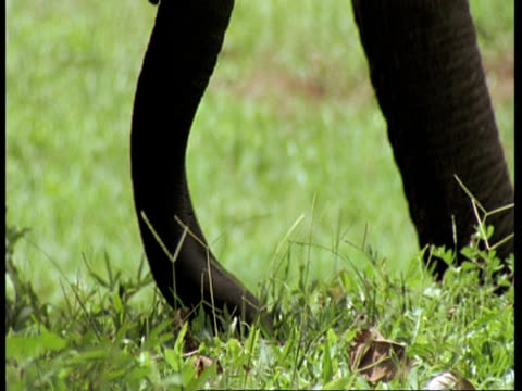 vídeos de stock e filmes b-roll de cu asiatic elephant, elephas maximus, adult and calf trunks pulling grass and feeding, western ghats, india - nariz de animal