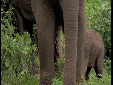 vídeos de stock e filmes b-roll de cu asiatic elephant, elephas maximus, calf moving between the legs of adult elephant, western ghats, india - nariz de animal