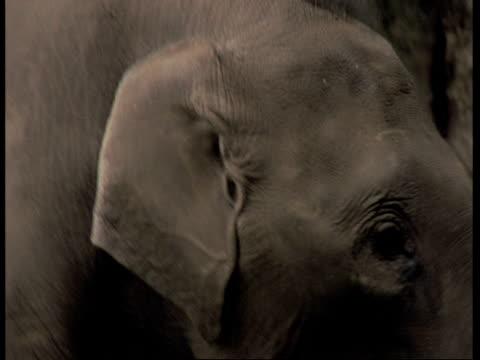 vídeos de stock e filmes b-roll de cu asiatic elephant, elephas maximus, elephant calf, head and trunk with a stick in its mouth, western ghats, india - nariz de animal