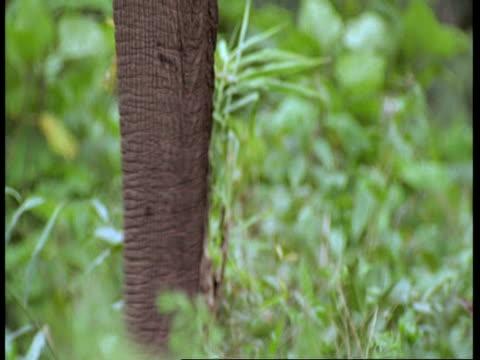 vídeos de stock e filmes b-roll de cu asiatic elephant, elephas maximus, feeding on vegetation, tilt up from trunk to mouth, side view, western ghats, india - nariz de animal