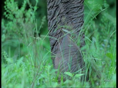 vídeos de stock e filmes b-roll de cu asiatic elephant, elephas maximus, trunk moving over grass, western ghats, india - nariz de animal