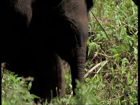 vídeos de stock e filmes b-roll de cu asiatic elephant, elephas maximus, walking between legs of adult elephants, western ghats, india - nariz de animal