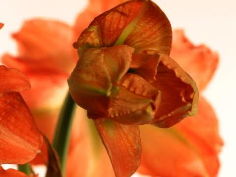 cu t/l asiatic lily blooming  - staubblatt stock-videos und b-roll-filmmaterial