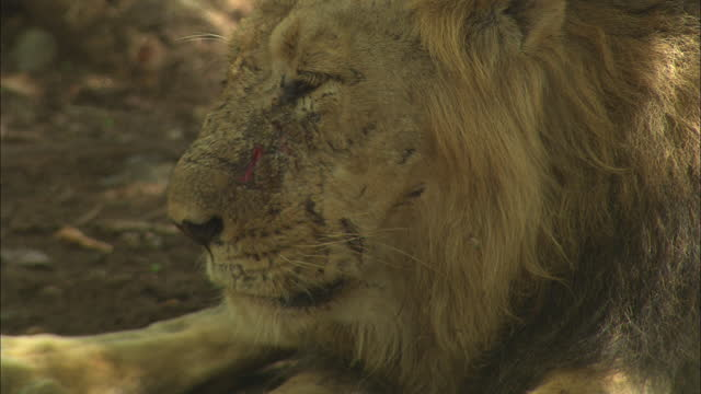 asiatic lion breathing heavily, heads down on paw - schnurrhaar stock-videos und b-roll-filmmaterial