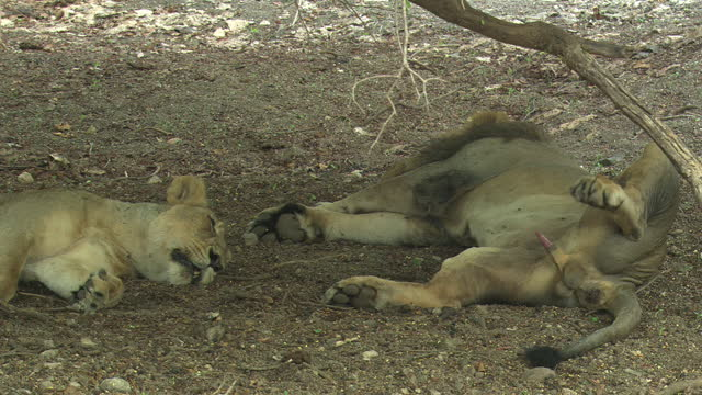 asiatic lion couples sleeping under the tree - penis stock videos & royalty-free footage