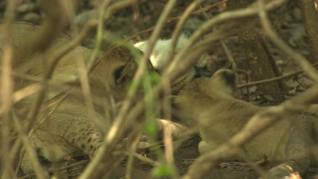 asiatic lion cub affectionate with mother and its sibling moving around - kleine gruppe von tieren stock-videos und b-roll-filmmaterial